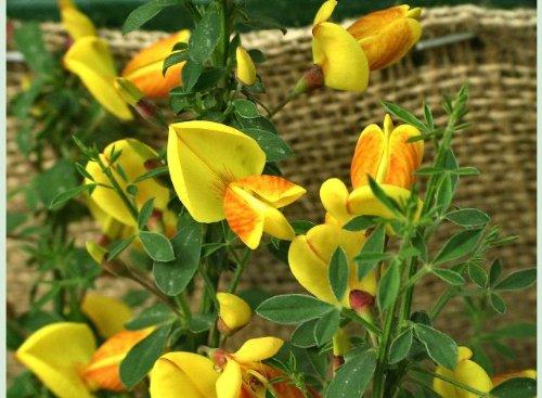 (Madame Butterfly Scotch Broom Shrub - Cytisus - 4