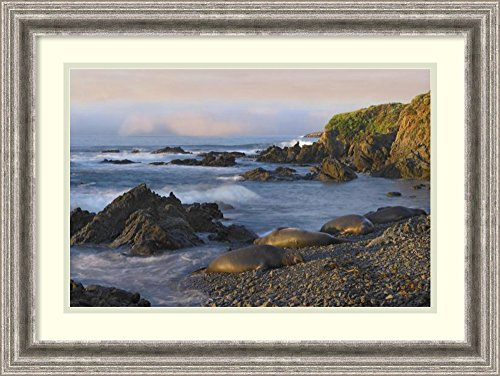 Framed Art Print 'Northern Elephant Seals resting on the beach, Point Piedras Blancas, California' by Tim Fitzharris