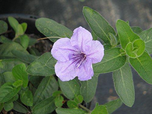 (Ruellia humilis Wild Petunia Seeds!)