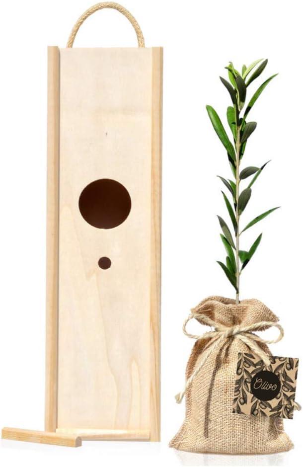 Arbolito Olivo 30-40 cm para plantar variedad Olea Europaea en caja de madera con tapa y asa que se convierte en una casita para pájaros