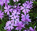 PHLOX SUBULATA 'PURPLE BEAUTY' - CREEPING PHLOX - STARTER PLANT
