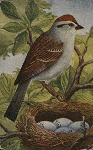 Chipping Sparrow Birds Original Vintage -
