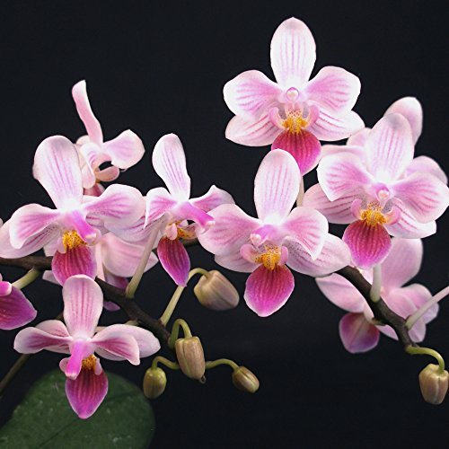 phalaenopsis-connie-moody