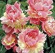 10pcs / lot Seltene Erbstück Sorbet Robust bunter doppelte Blüte Pfingstrose Baum Samen Bonsai Pflanze Hausgarten