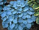 "(PHOS)~""BIG BLUE"" HOSTA~Seeds!!!!~~~~~~~~A Stunner in the Shade!"