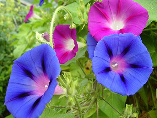 (Tall Morning Glory Seed Mix, 100+ Premium Seeds, Beautiful & Gorgeous! Ipomea purpurea, (Isla's Garden Seeds), Highest Quality, Highest Purity, 85-90% Germination Rates, Highest Quality Seed)