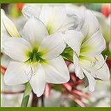 Amaryllis White Christmas - 1 bulb - 28/30 cm