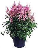 Astilbe Japonica 'Rheinland' (False Spirea) Perennial, Bubblegum Pink Flowers, 2 - Size Container