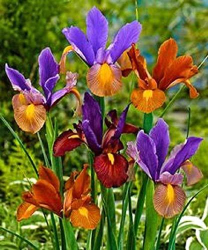 Alyf Market Dutch Iris Tiger Mix(Bulbs),Stunning Blue, Bronze and Lilac to Purple Blooms (10 Bulbs)
