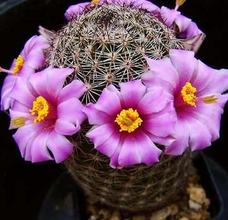 Mammillaria Pseudoalamensis