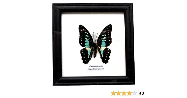 Ceranus Blue Butterflies Framed Oddity Curiosity Buckeye Butterflies Butterfly Specimen Mahogony Frame Insect Specimens