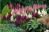 50 Seeds White Pink Purple Astilbe Bunter Shade Perennial Garden Chinensis