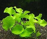 """Nymphoides Aquatica """"Banana Plant"""" Live Aquarium Plant"""