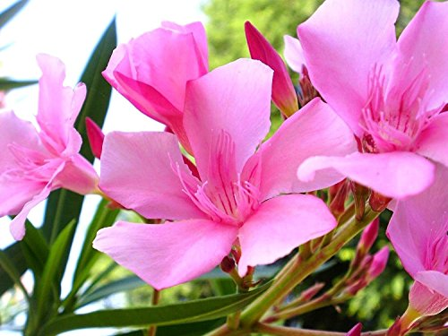 Oleander Bush Live Plant Pink Laurier Rose Adelfa 7-12 inches Tall Cold Hardy Drought Resistant Easy-to-Grow (1 Pant) by High Desert Nursery