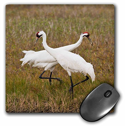 3D Rose Whooping Crane Grus Americana Pair Feeding Texas Usa Matte Finish Mouse Pad - 8 x 8 - (Crane Rose)