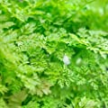 200 Winter Chervil Seeds, French Parsley, Non-GMO, Heirloom, Variety Sizes