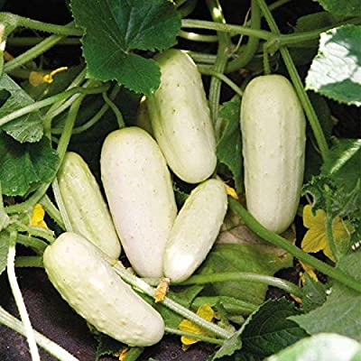 Salt and Pepper Organic Cucumber Seeds (20 Seed Pack) : Garden & Outdoor