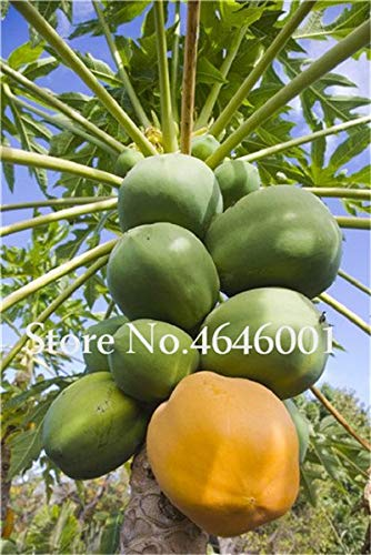 30 pcs Sweet maradol Papaya Seeds Outdoor Edible Tropical Juicy Jardin Fruit Heirloom Organic Garden Dwarf Fruit Tree plants2 - Papaya Tree Planting