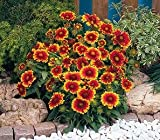 Gaillardia aristata Arizona Sun 1,000 seeds