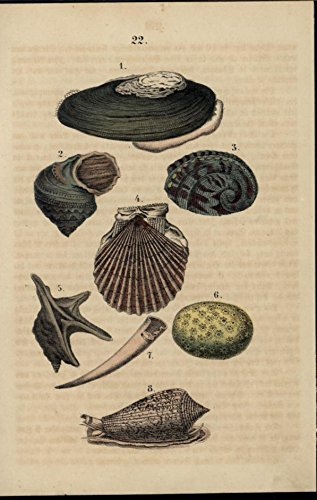 (Sea Shells Mollusks Clam Scallop scarce 1861 antique hand color nature print)
