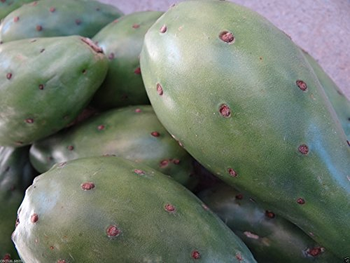 1 Cactus Pad, Green Prickly Pear, Opuntia ficus indica, Fruit Nopal Tuna Verde by cactus.sam