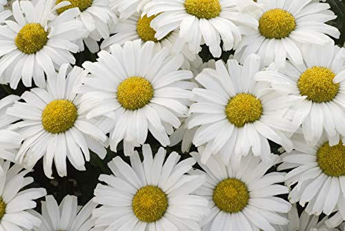 (Proven Winners - Leucanthemum AMAZING DAISIES Daisy May (Shasta Daisy) Perennial, white flowers, 1 - Size Container)
