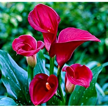 Majestic Red Calla Lily Bulb 14/+ cm - Long Lasting Blooms