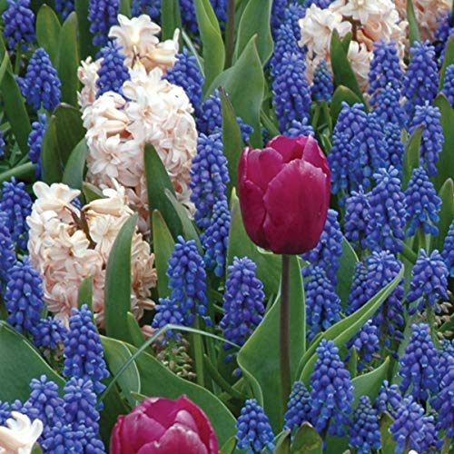 Burpees Love is in the Air Mix - 20 Flower Bulbs   Blue & White