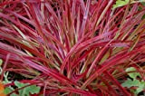 "Fireworks Fountain Grass - Pennisetum setaceum - 4.5"" Pot"