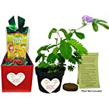 TickleMe Plant Christmas Plant Gift Box Set - Grow the Plant That Closes Its Leaves When You Tickle It! It Even Flowers! This will make everyone smile when they Tickle the leaves!
