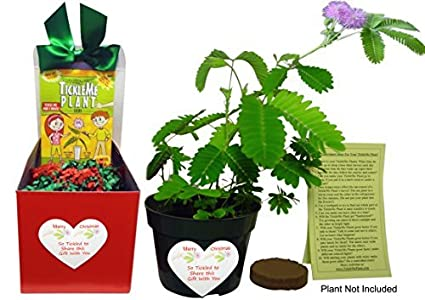 tickleme plant christmas plant gift box set grow the plant that closes its leaves when
