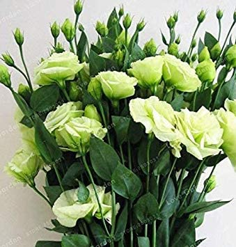 100 Pcs Eustoma Grandiflorum Rare Flowers Lisianthus Home Garden Plants Easy To Grow 7 Amazon Co Uk Garden Outdoors