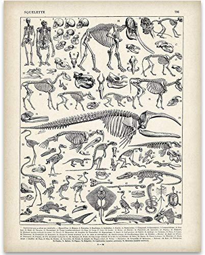 (Animal Skeletons Illustration - 11x14 Unframed Art Print - Biology Lab)
