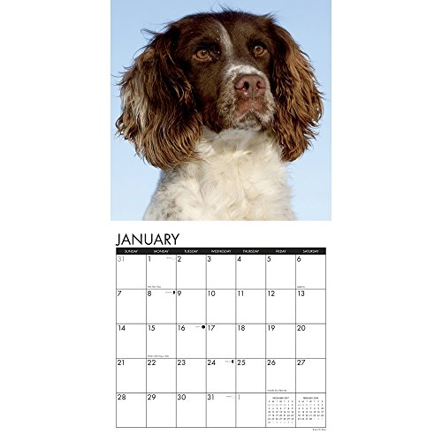 English Springer Spaniels 2018 Wall Calendar Photo #2