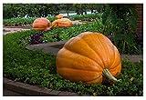David's Garden Seeds Pumpkin Dill's Atlantic Giant OS602 (Orange) 15 Non-GMO, Heirloom Seeds
