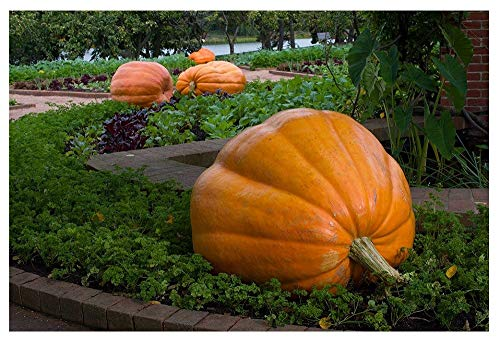 David's Garden Seeds Pumpkin Dill's Atlantic Giant OS602 (Orange) 15 Non-GMO, Heirloom Seeds ()