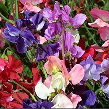 seedsown Flower - S - Picture Packet - Sweet Pea - Incense Mixed - Seed