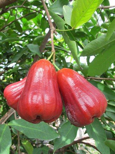 Amazon com : 1 Thai Wax Jambu/Wax Apple Fruit Tree (Thub