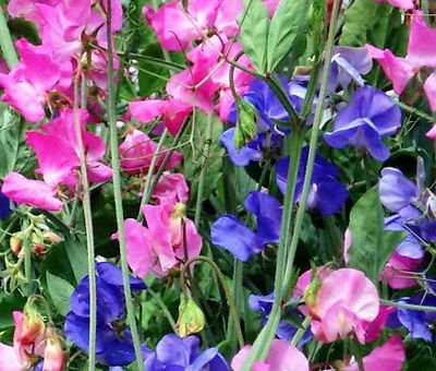sweet-pea-royal-family-mixed-colors-lathyrus-odoratus-110-bulk-seeds