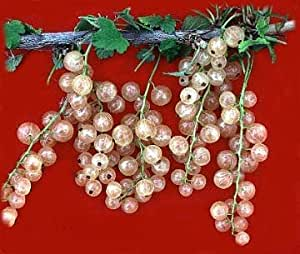 "Imperial White Currant Bush - Wine - Juice - Jelly - Tart - 4"" Pot"