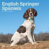 img - for English Springer Spaniels International Edition 2020 12 x 12 Inch Monthly Square Wall Calendar, Animals Dog Breeds book / textbook / text book