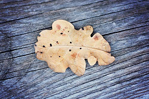 (Home Comforts Canvas Print Close Leaf Weathered Oak Leaf Dried Grey Wood Vivid Imagery Stretched Canvas 32 x 24)