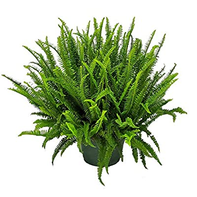 "Tropical Plants of Florida - Kimberly Queen Fern - 12"" Hanging Basket - Plant Spread 28 inches to 32 inches : Garden & Outdoor"