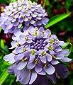 Candytuft Flower Seeds (Lavender Cardinal) 180 Seeds Upc 647923989649 + 1 free plant marker