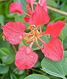 Bauhinia galpinii RED ORCHID TREE, Pride of De Kaap, Nasturtium Bauhinia ~PLANT~