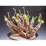 Monilaria Moniliformis !! Exotic Mesembs Rare Succulent String of Pears 15 Seeds