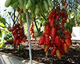 Hot Sale!!! 100 PCS big cherry tomato tree seeds italy new tomato seeds NO-GMO fruit and vegetable seeds for home garden planting