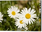 """Closeup Of Daisies Brachyscome Species"" by National Geographic, Canvas Print Wall Art, 36"" x 24"", Black Gallery Wrap, Glossy Finish"