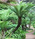 Dicksonia antarctica - Hardy tree fern - 10 seeds