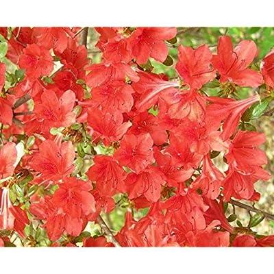 Seeds Red Cumberland Azalea Rhododendron Cumberlandense Bush Shrub Flower Get 10 Seeds #LC01YN : Garden & Outdoor